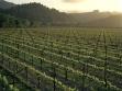 Spottswoode-Vineyard-Spring-Mayacamas-1