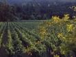 Spottswoode-Vineyard-Spring-Mayacamas-2
