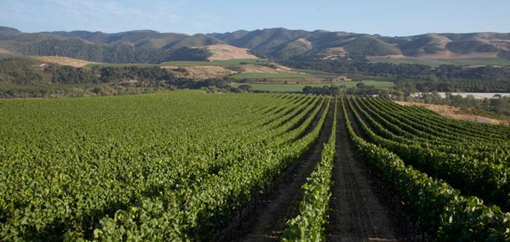 longoria winery vineyards santa barbara