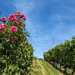 Roses at end of vineyard rows