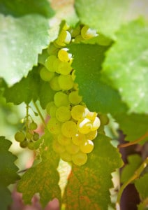 Wine Grapes Sauvignon Blanc