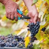 ZInfandel wine grapes