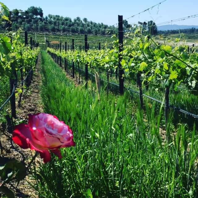 Roses in Temecula Winery vineyard