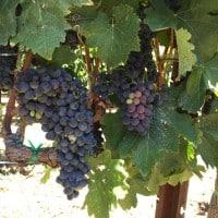 California Wine Grapes