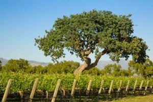 santa ynez wineries