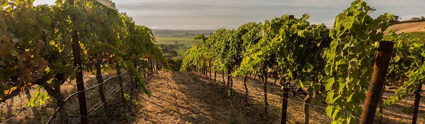 Three sticks winery vineyard