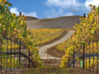 pence vineyard 2